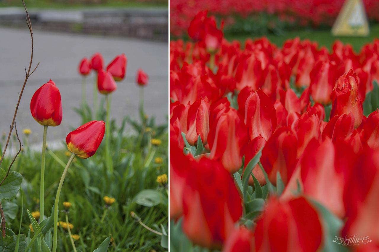 Виставка_тюльпанів14